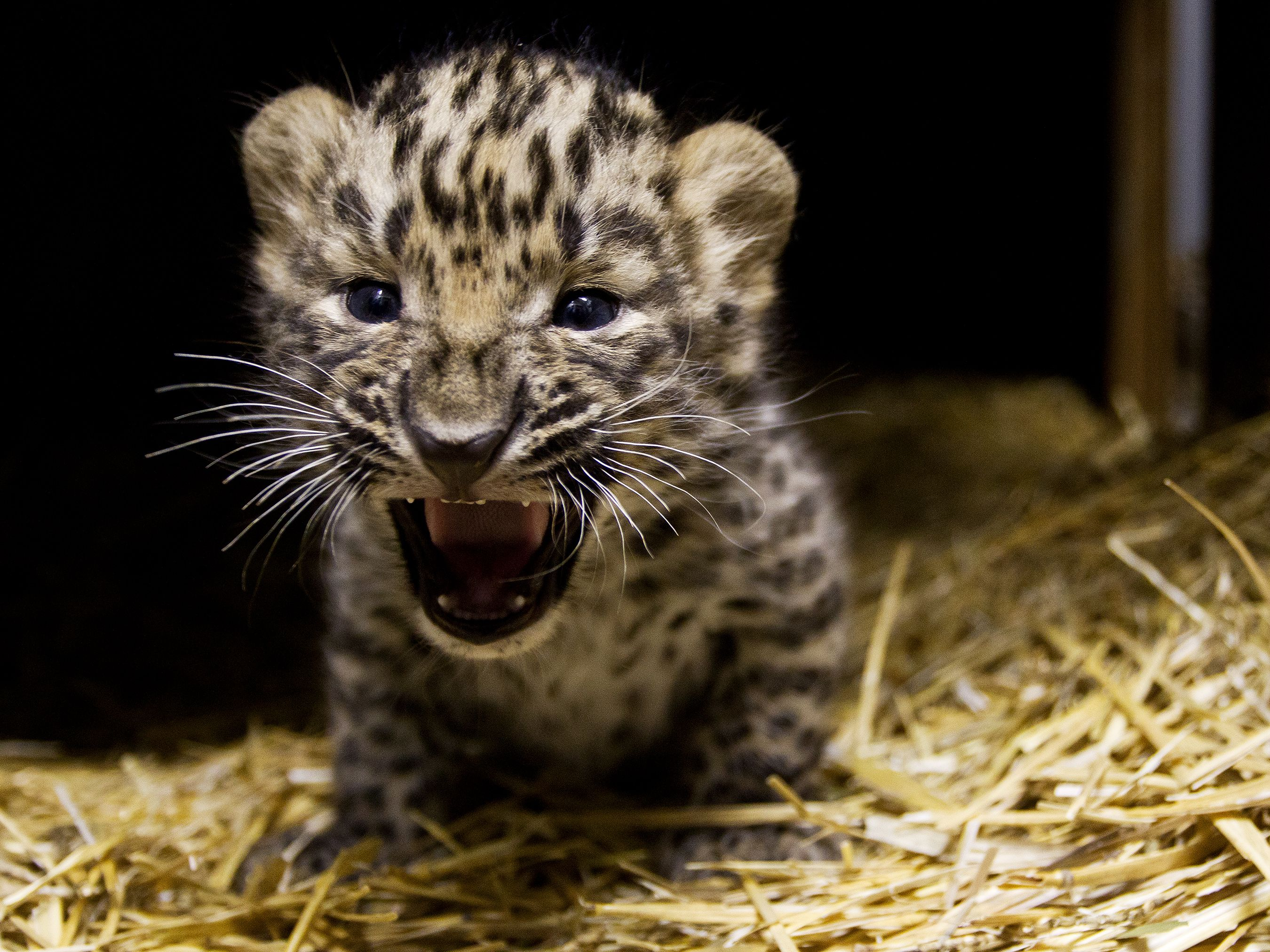 Prague Zoo Is Celebrating The Birth Of Amur Leopards, A