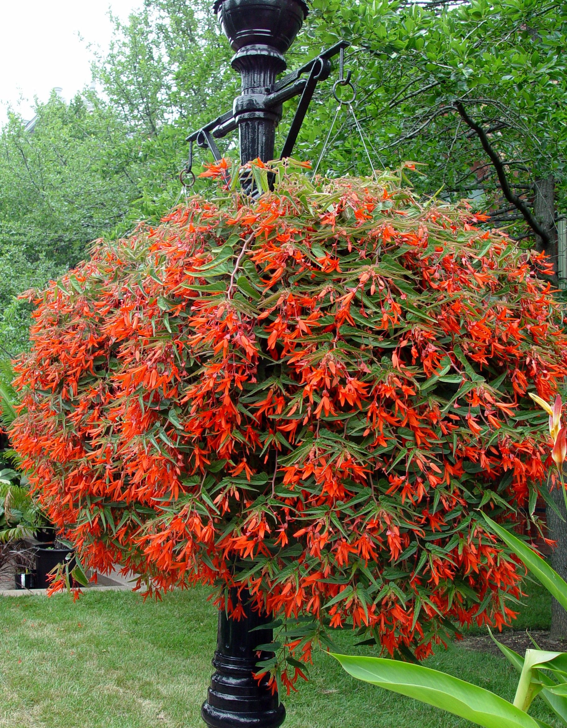 Begonia Bonfire These Were Amazing Last Year And Just Grew So Big Hanging Plants Plants Plants For Hanging Baskets