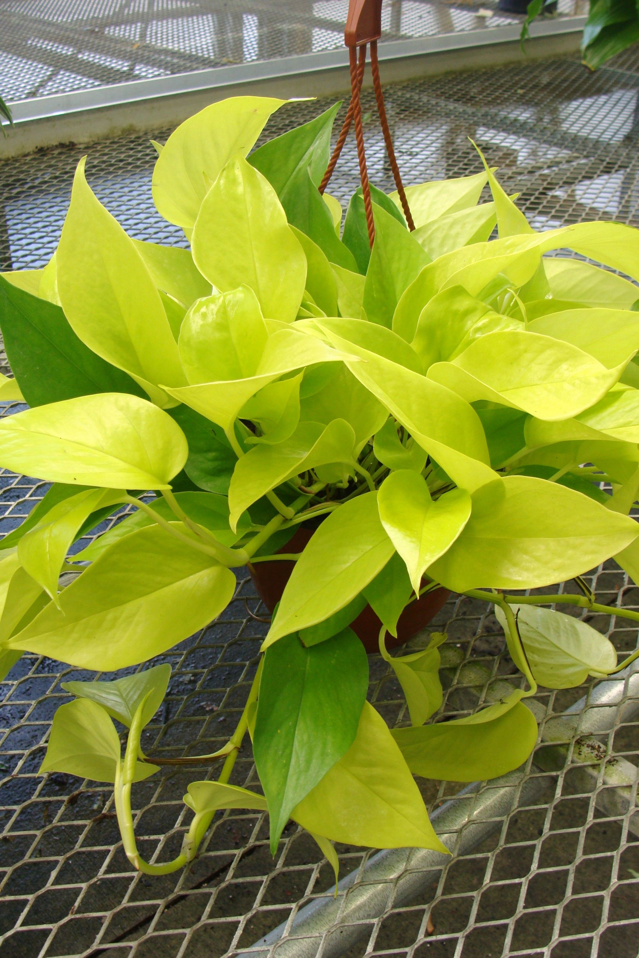 Indoor Plant Types Neon Pothos Plant Types And Identifications Pinterest
