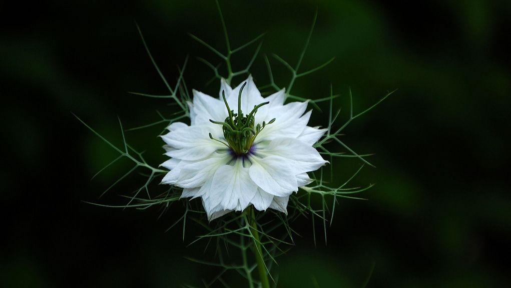 Love In A Mist Flower Hd Wallpapers Download Flowers Hd Flowers Hd Flower Wallpaper