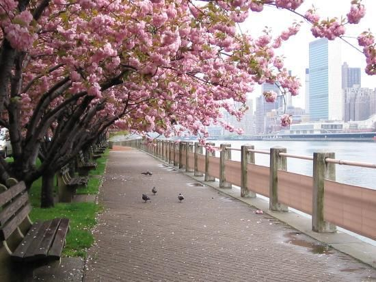 See The Cherry Blossoms In Nyc Roosevelt Island New York Attractions New York City Photos