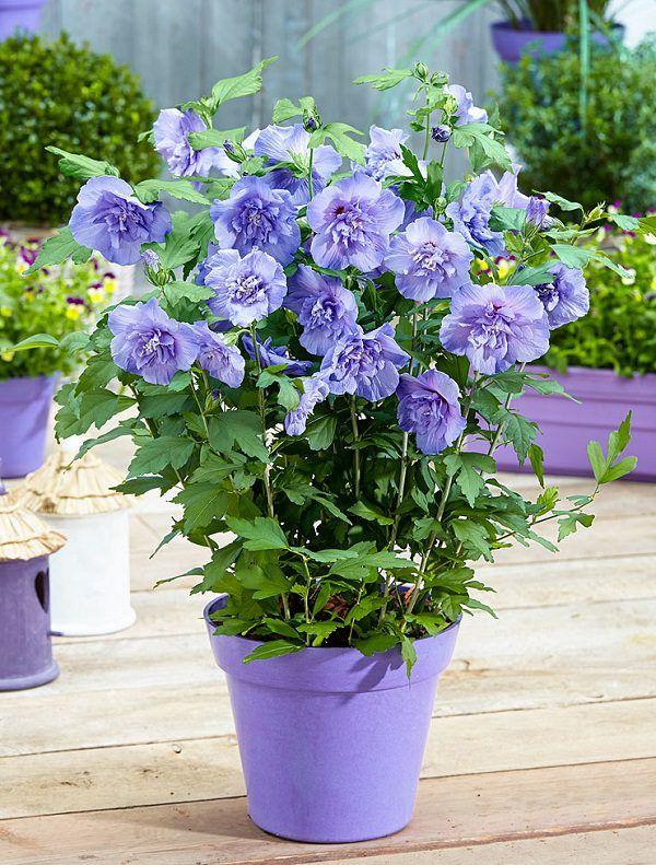Como Plantar Lavanda En Maceta. Stunning Cmo Plantar Tulipanes En ...