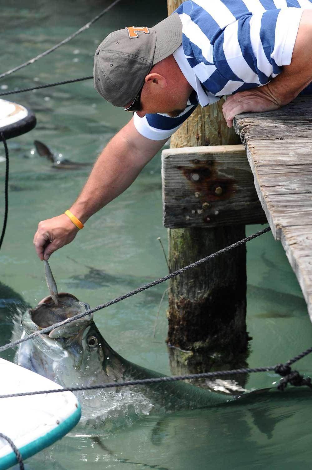 Tarpon being fed at Robbie's Marina Florida keys