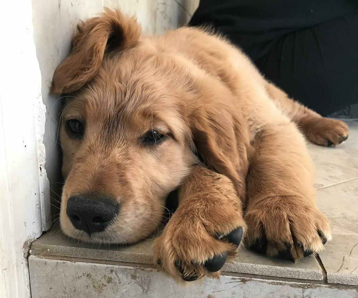 Golden Retriever dog for Adoption in Matawan, NJ. ADN