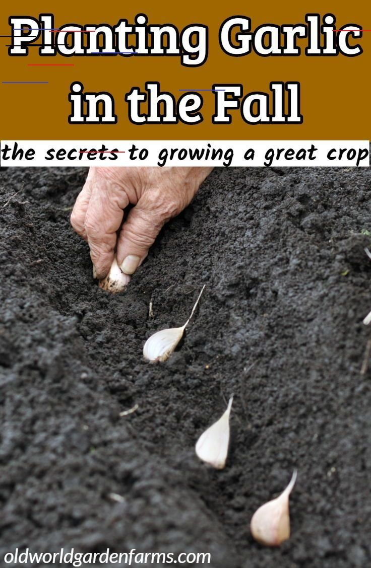 Planting Garlic In The Fall - The Secrets To Growing A Great Crop! Planting Garlic in the Fall - th