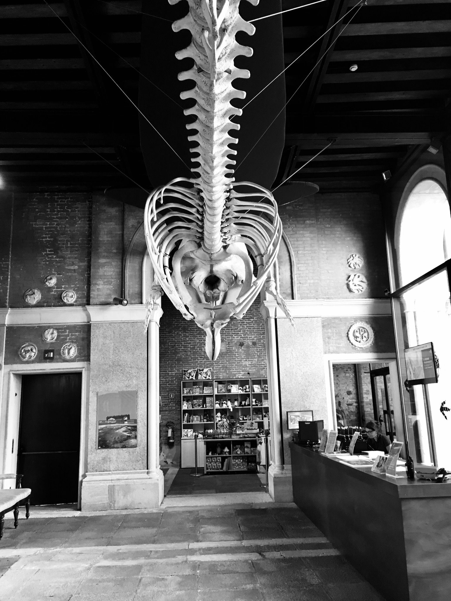 Beluga Whale Skeleton Natural History Museum Venice