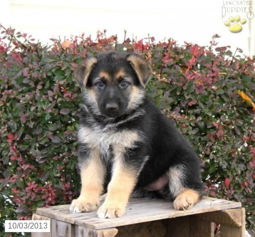 Beckie German Shepherd Puppy For Sale In Lancaster Pa German