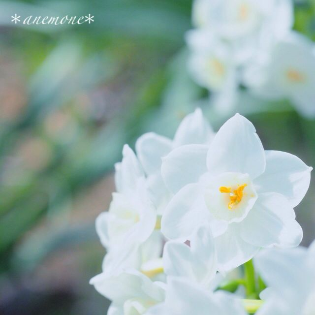 #水仙#narcissus#daffodil#flower