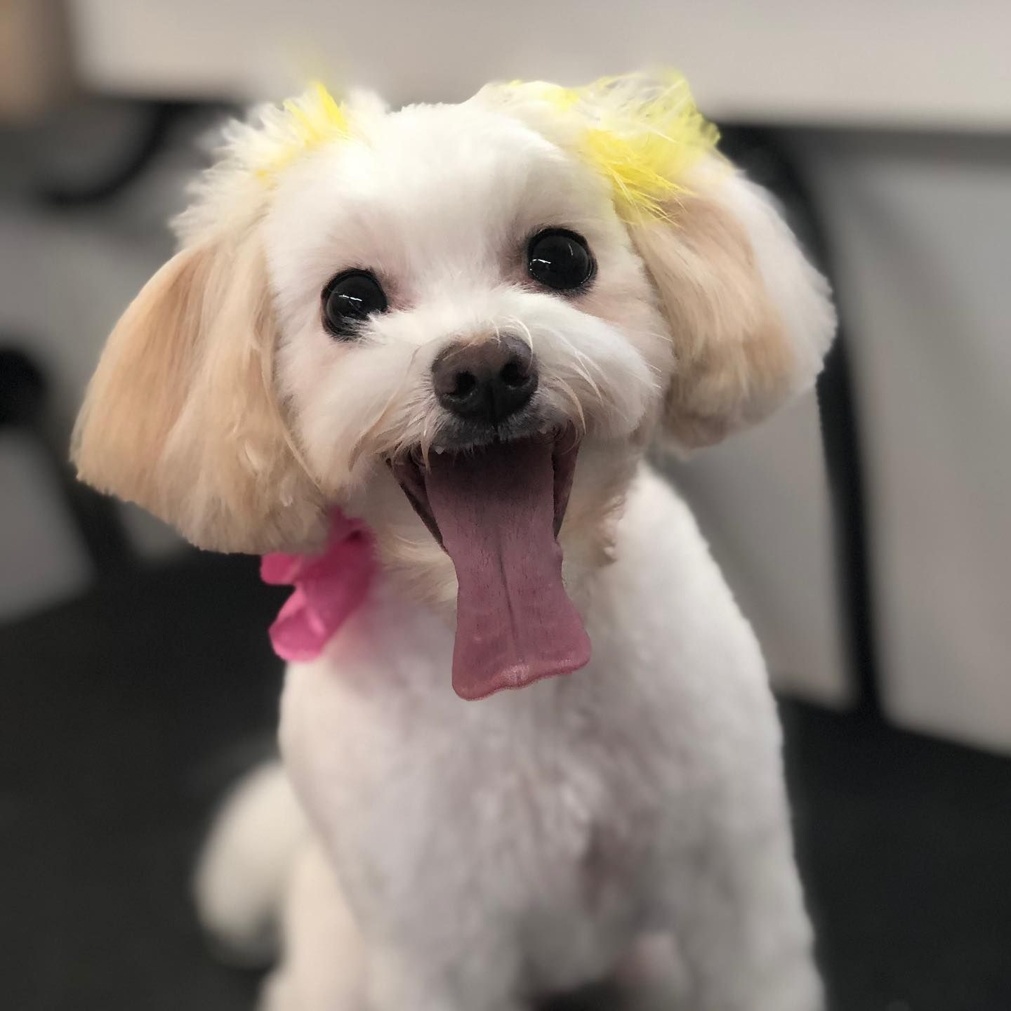 How Cute Is This Maltipoo Groomed By Diamond In The Ruff