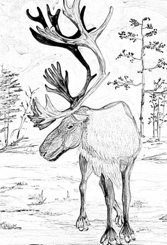 Caribou pencil drawing caribou elk moose deer Pinterest