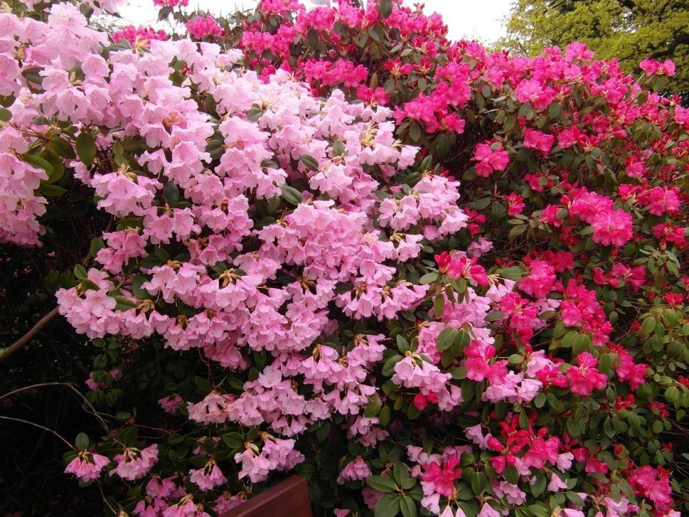 Lista De Arbustos Japoneses Que Te Encantarán Arbustos Arbustos En Flor Arbustos Perennes