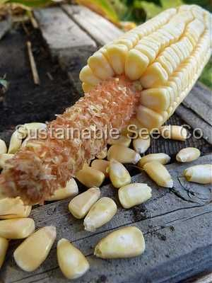 Pencil Cob corn Seeds - Sustainable Seed Co.