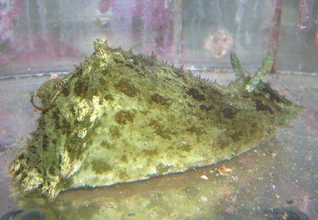 Dolabella Sea Hare Sea Hare Reef Tank Invertebrates Algae