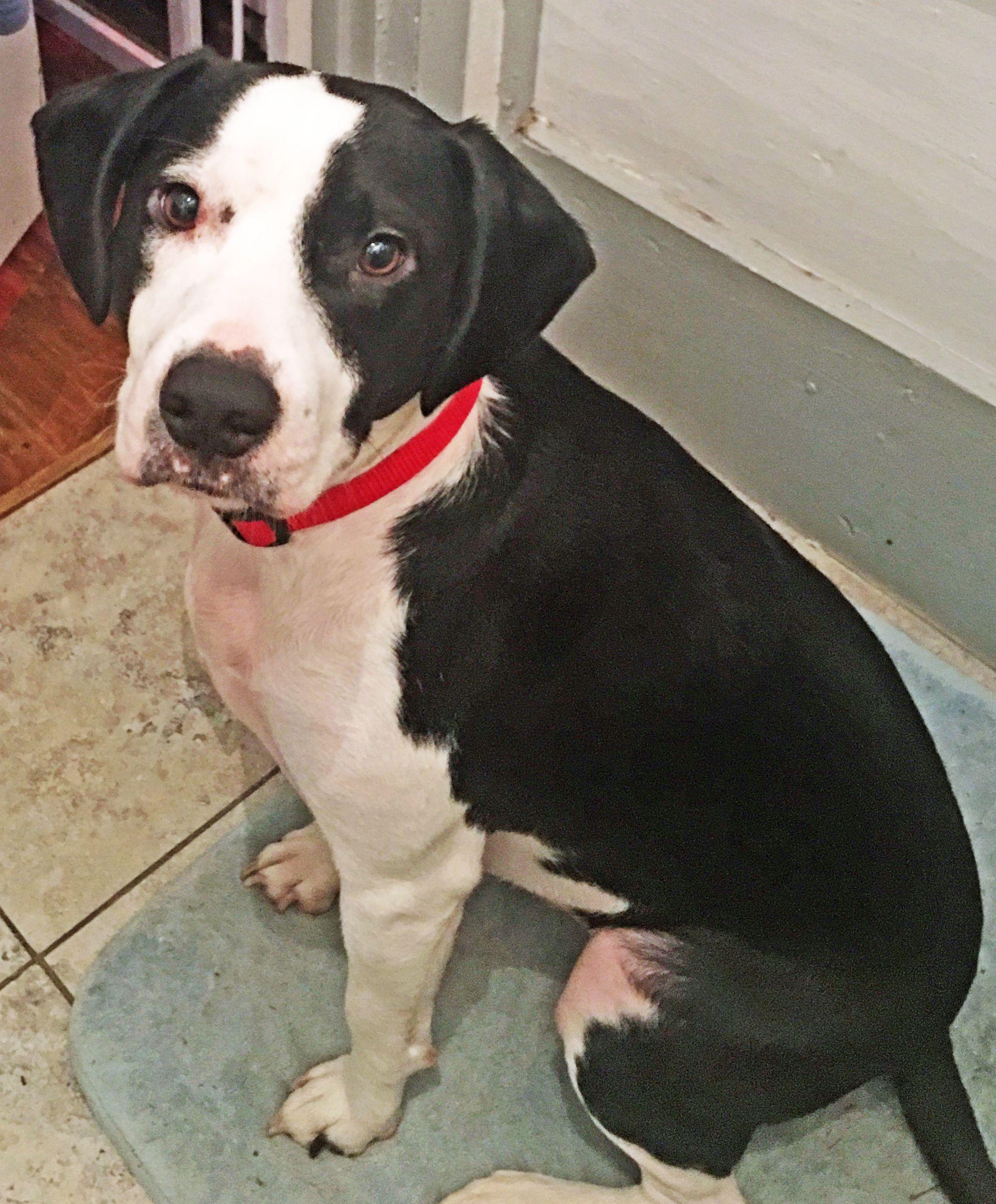 Adoptable Beagle Beagle Dog For Adoption In Griffin Ga Adn