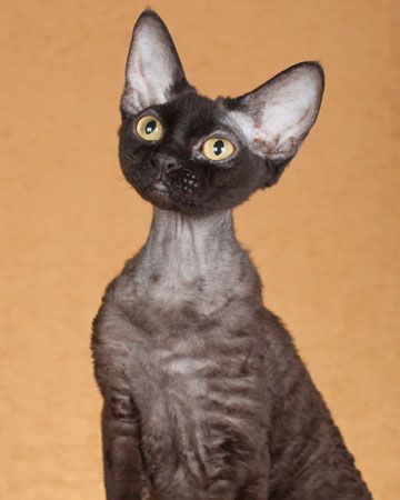 Devon Rex is a breed of intelligent, short-haired cat that emerged in England during the 1960s. Known for their slender bodies, wavy coat, & large ears. These cats are capable of learning difficult tricks. Known to recognize their human's name, just as they do their own. The curl in Devon Rex fur is caused by a different mutation & gene than that of the Cornish & German Rex, breeding of a Devon with either results in cats without rexed (curled) fur. Mischievous, playful, & very…