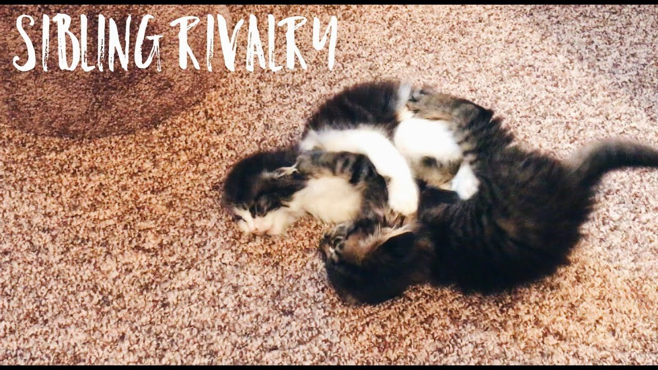 Cute Kittens Playing And Wrestling Together Kittens Cutest Kittens Playing Cute Kitten Gif