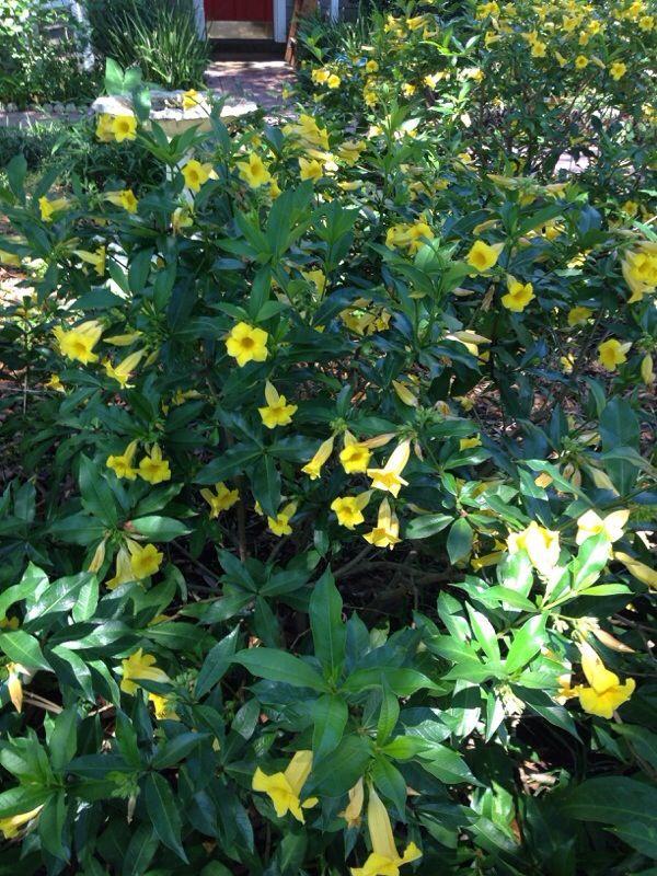 Free Plant Identification Yellow Flowering Bush Evergreen Vines