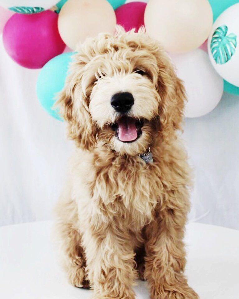B A R K L E Y Barkleydoodles Instagram Photos And Videos Cute