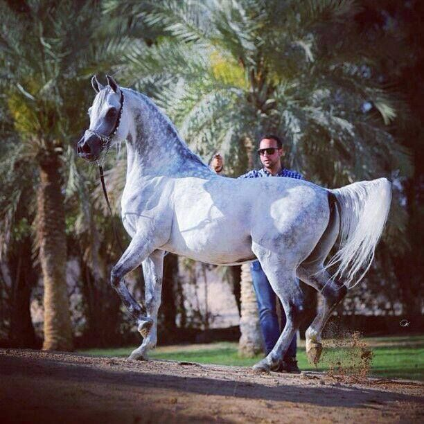 Pin By Susan Duran On Arabian Horse Beautiful Horses Horses Arabian Horse