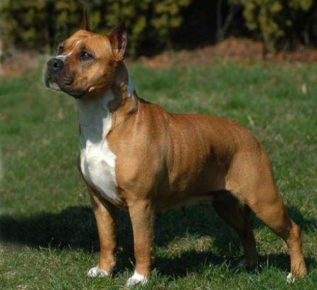 Staffordshire Terrier Amerikai Staffordshire Terrier American