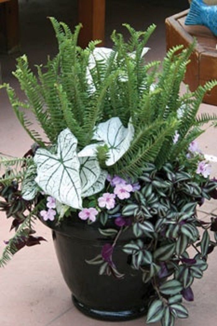 Potted Plants And The Necessary Spring Care: Caladium, Fern, Wandering Jew, Impatient.