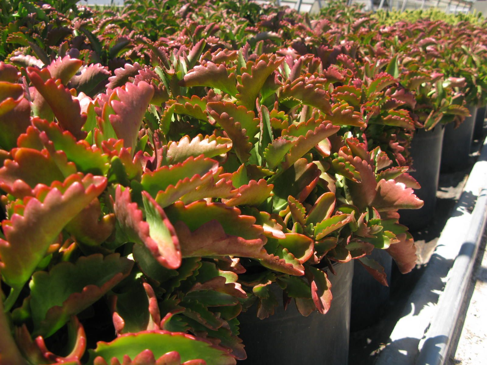 Kalanchoe Longiflora Red Fang Succulents