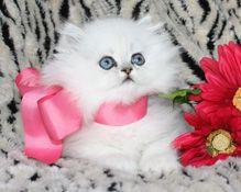 Baby Doll Face Black Persian Kitten |Baby Doll Face Kittens