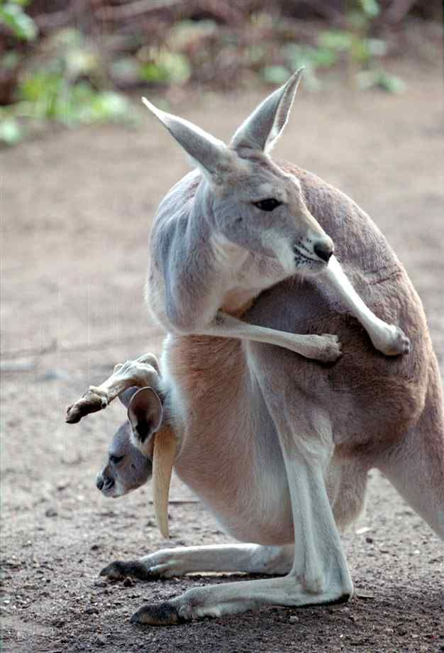 Female Red Kangaroo Blue Flyer With Joey Australianew Zealand