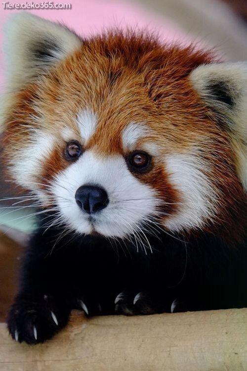 Photo of Schöne erstaunlich süße Bilder eines New Earth Panda