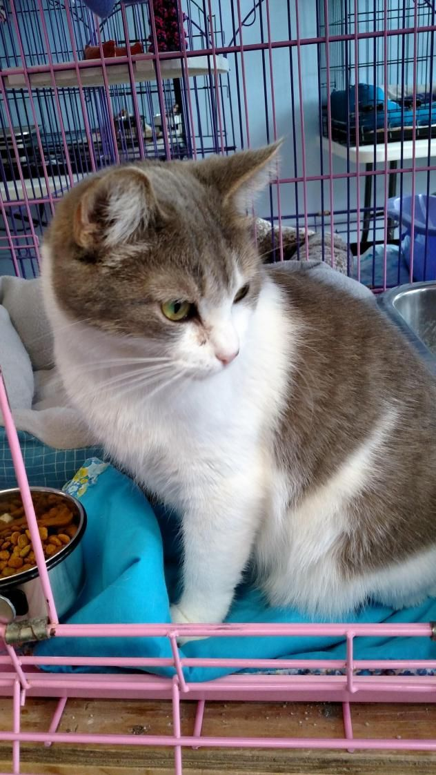 Adopt Annabelle On Petfinder Grey Cats Cats Animal Help