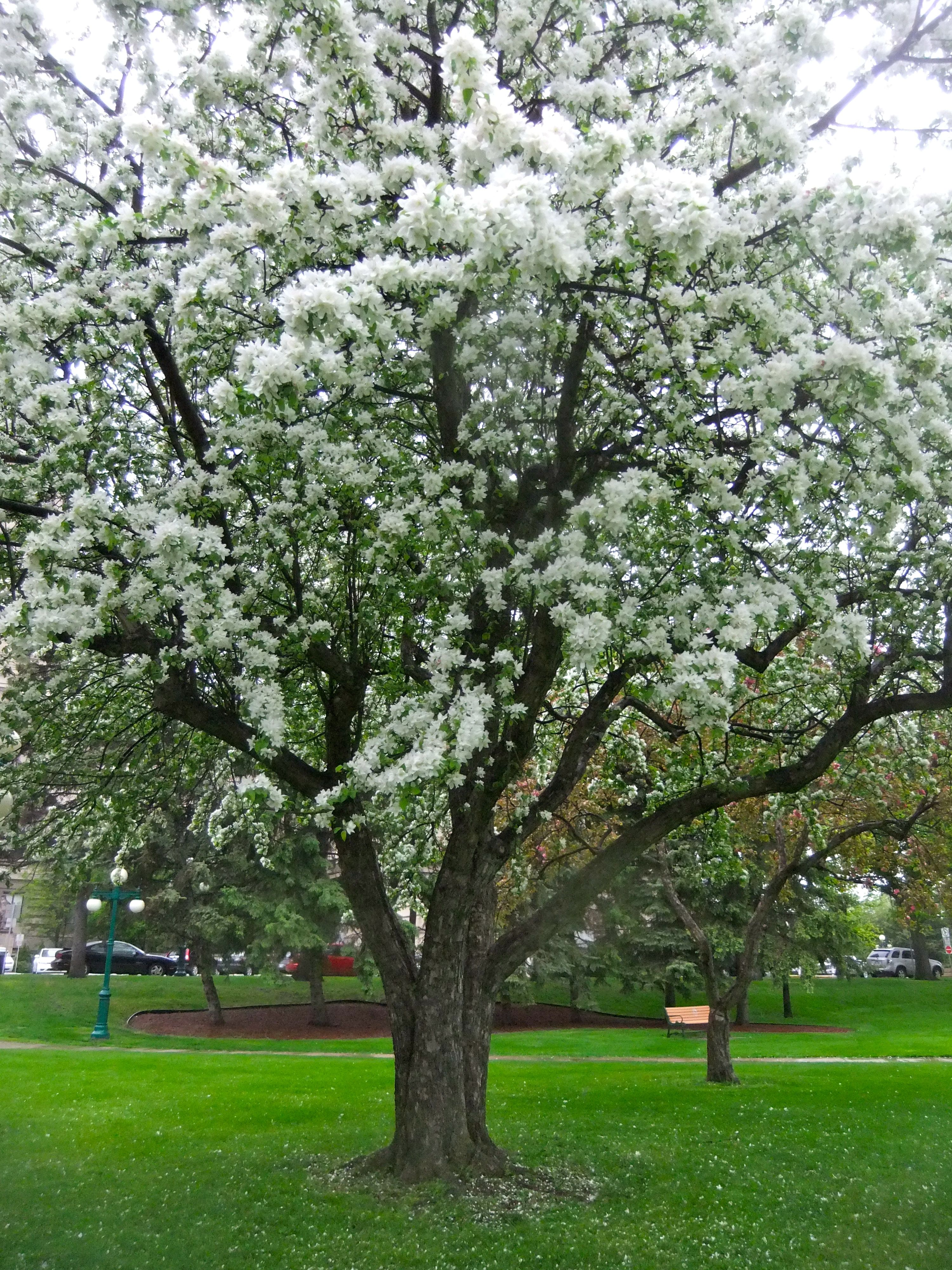 Manitoba Spring Flowering Crabapple Treesattracts Cabbage White