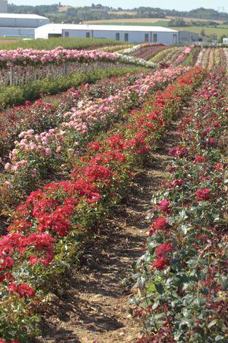 Champs de roses (Diémoz - 38) Pépinières Meilland