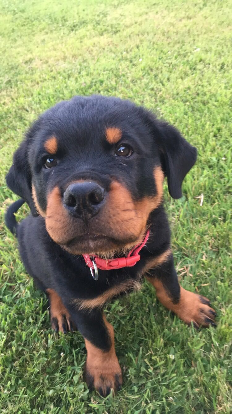 Puppy Rottweiler With Images Puppies Rottweiler Puppies
