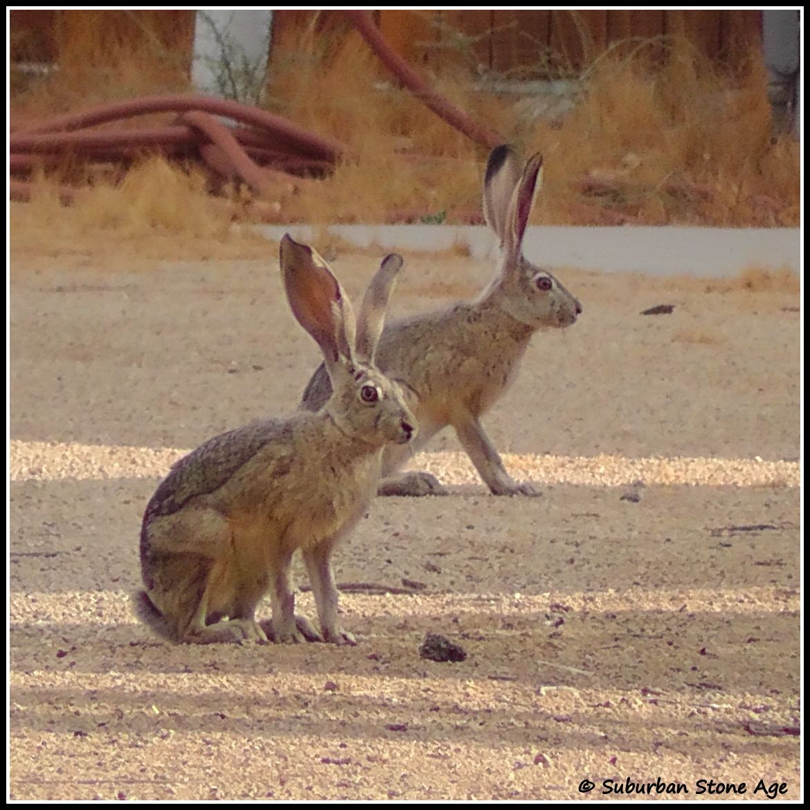 Jackrabbits in the Mojave desert Country critters