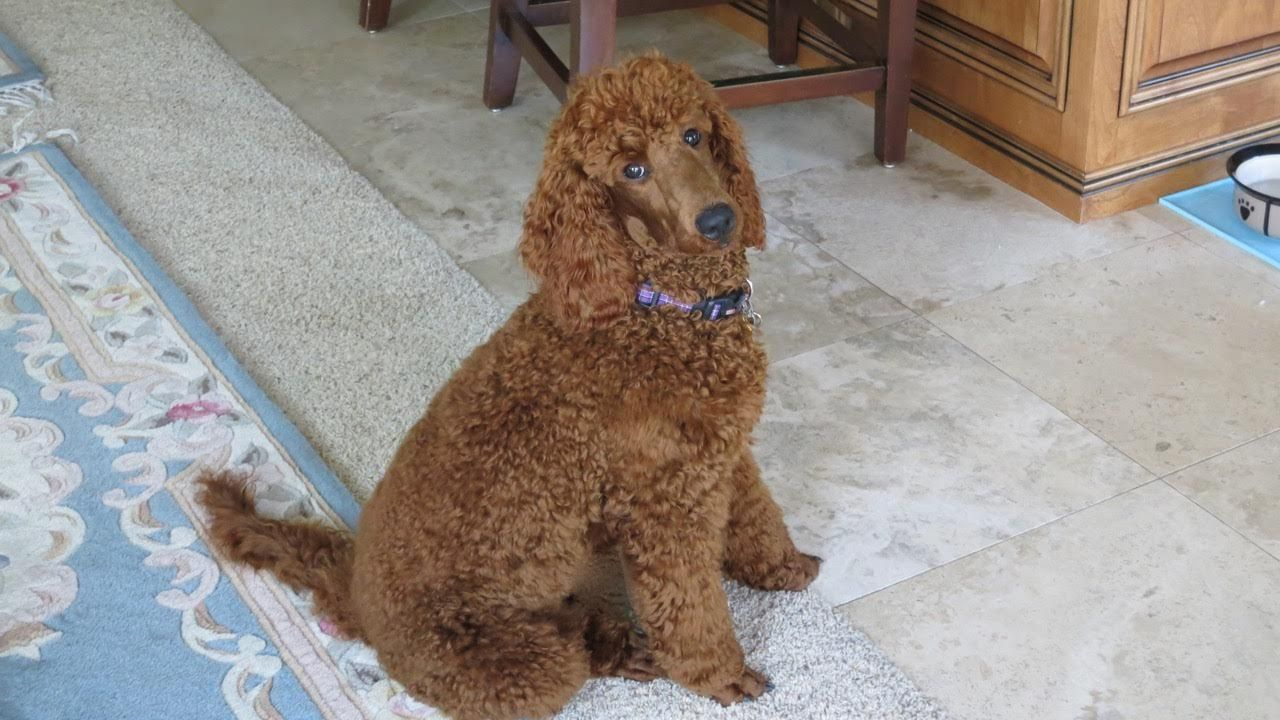 Passed Out Poodle Scarlet S Fancy Poodles Akc Red Poodles