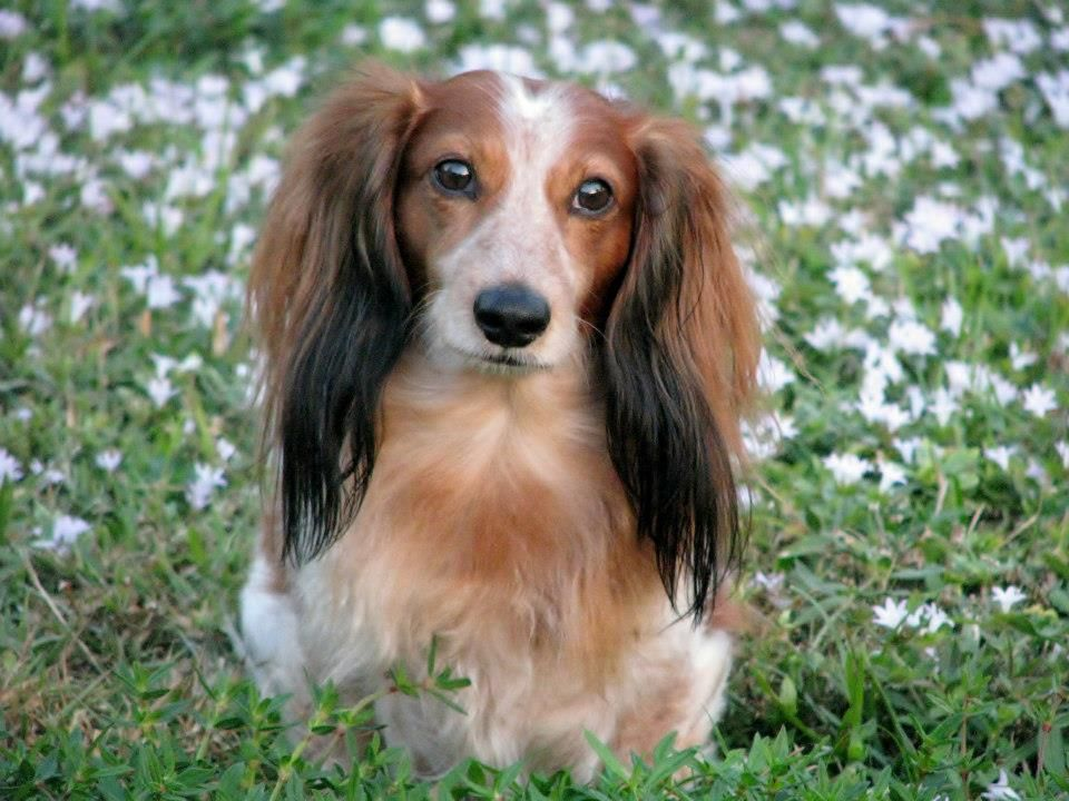 Rocky Red Piebald Long Haired Mini Dachshund Piebald Dachshund