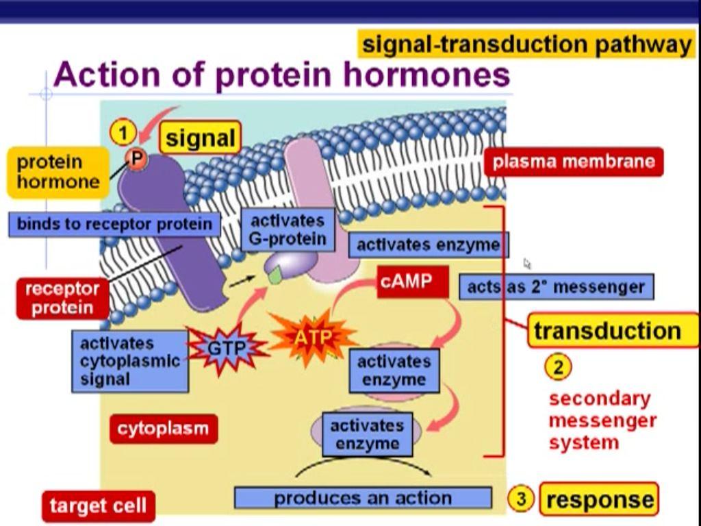 Action Of Protein Hormone Signal Transduction Pathway Endocrine System Hormones Nursing Endocrine