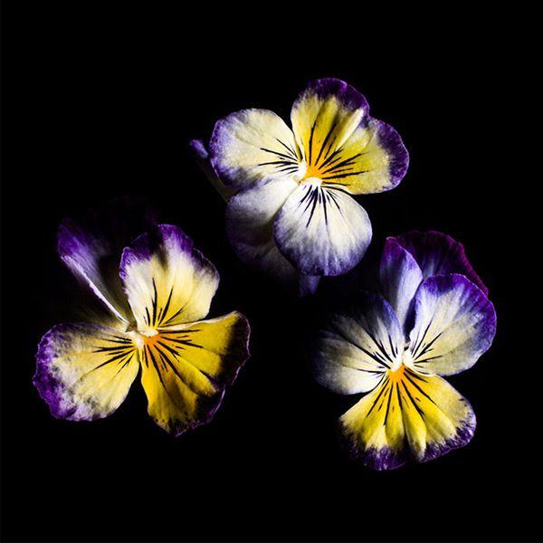 Viola Lemon Blueberry Smart Garden Indoor Garden 400 x 300