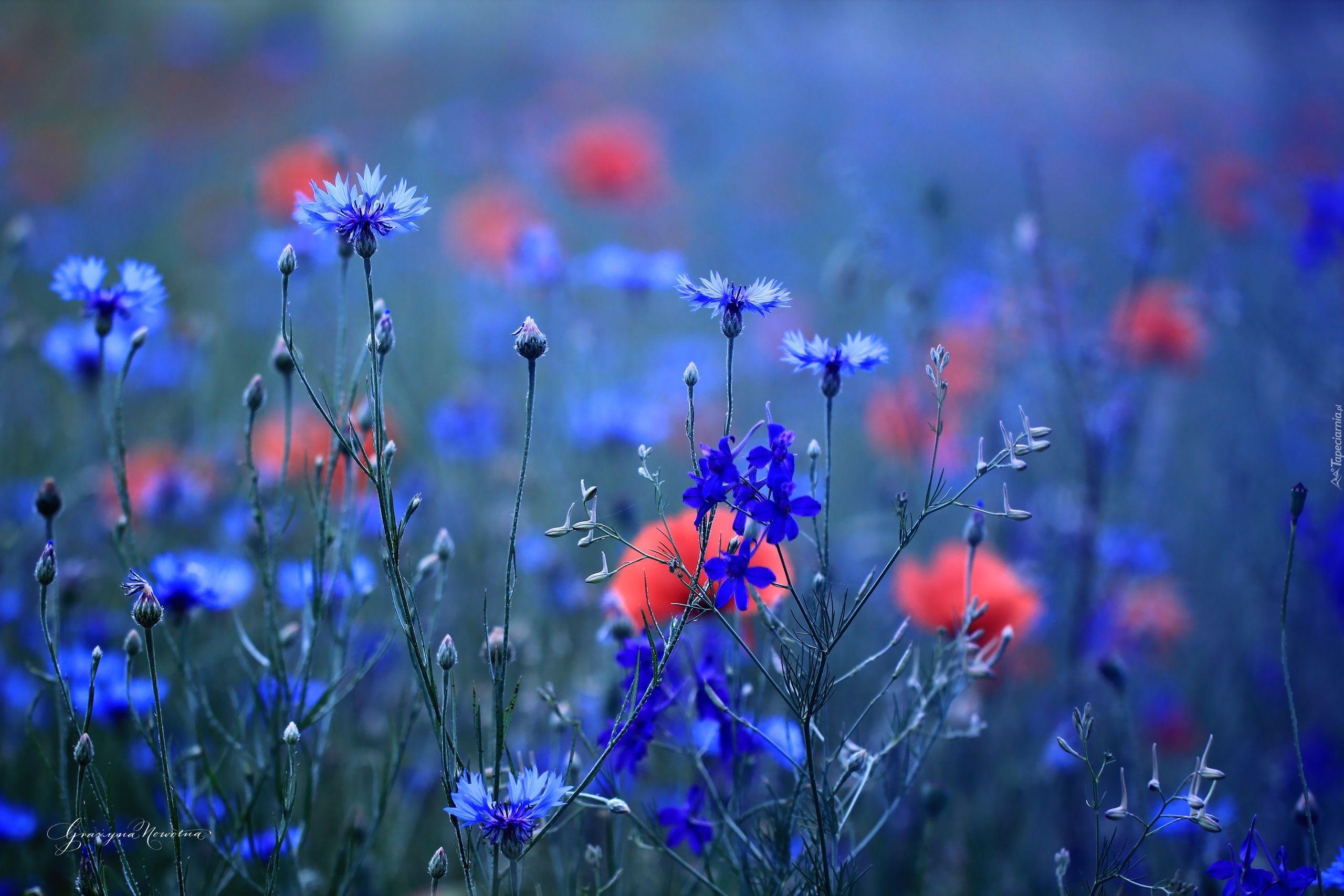 Chabry Niebieskie Kwiaty Chalk Pastel Art Elegant Flowers Beautiful Wallpapers