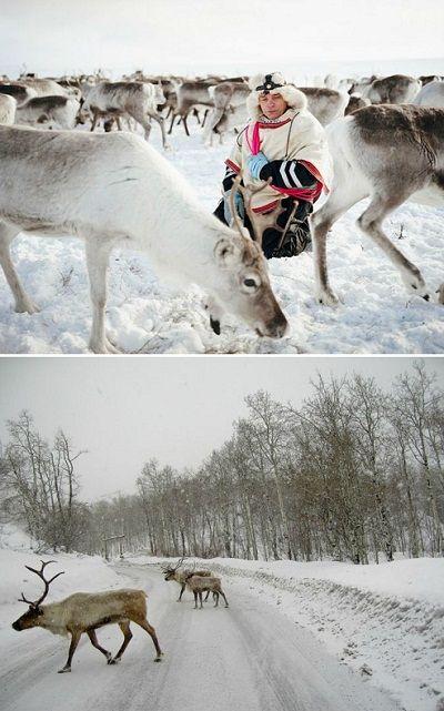 The Sami Indigenous Peoples Of Scandinavia The Reindeer Walkers Majestic Animals Scandinavia Reindeer