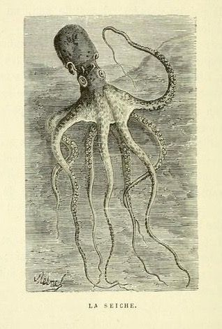 nemfrog:    Cuttlefish. Le monde animal. 1880.