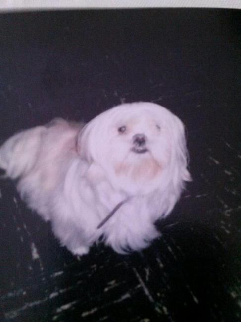 Lost Dog Lhasa Apso In Philadelphia Pa Pet Name Jada Id
