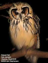 Striped Owl Pseudoscops clamator - Google Search