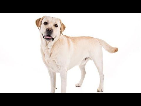Labrador Retriever Puppies Price In Chennai Labrador Retreiver