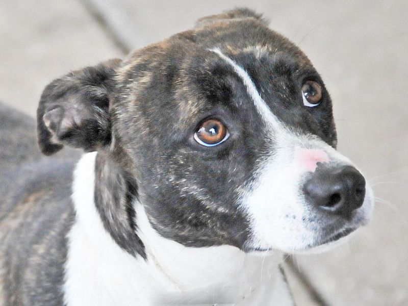 Adopt AUTUMN on Whippet mix, Dogs, Terrier