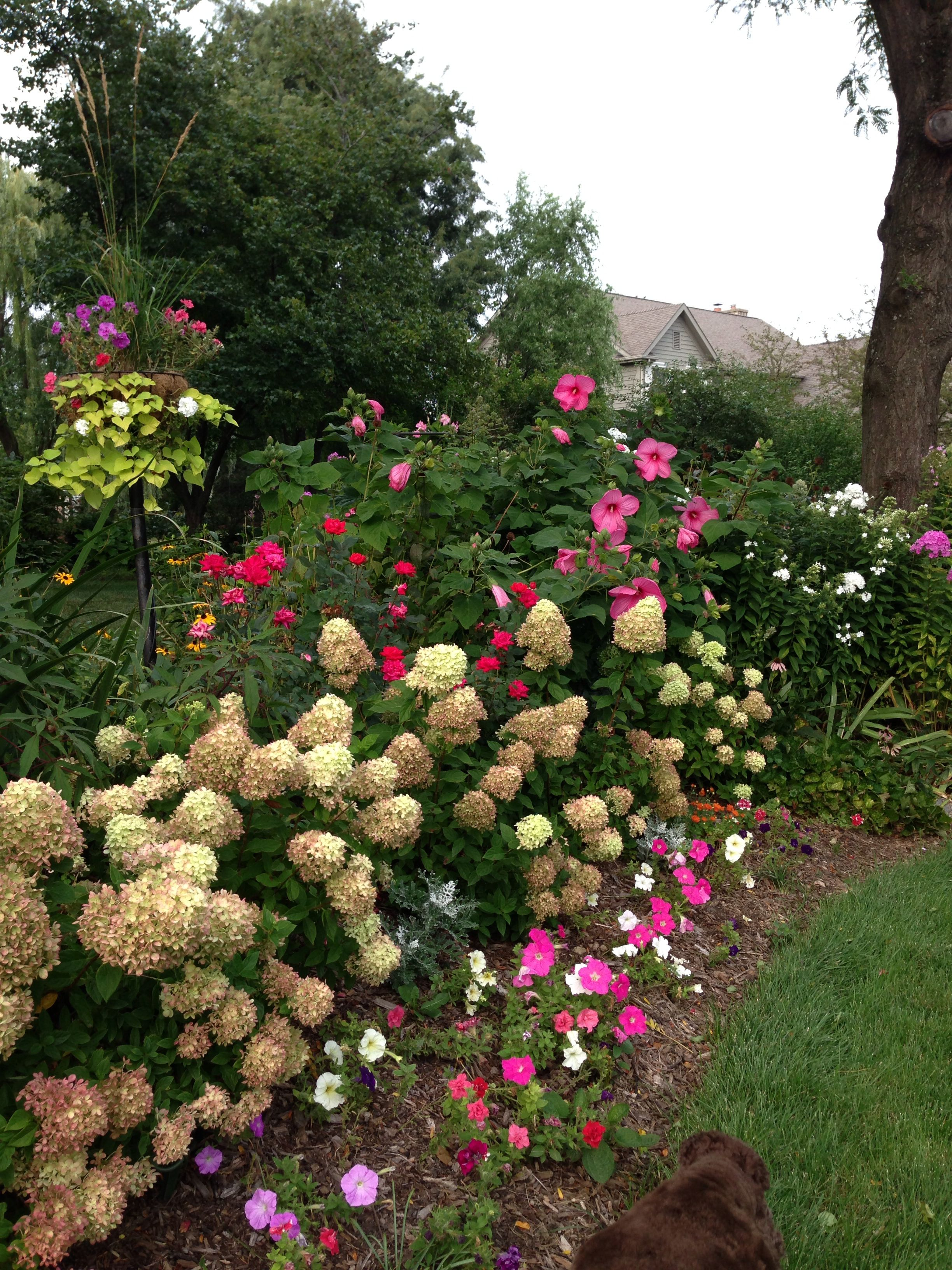 Fall Garden In The Midwest Little Lime Hydrangeas Knockout Roses Perennial Hibiscus Little