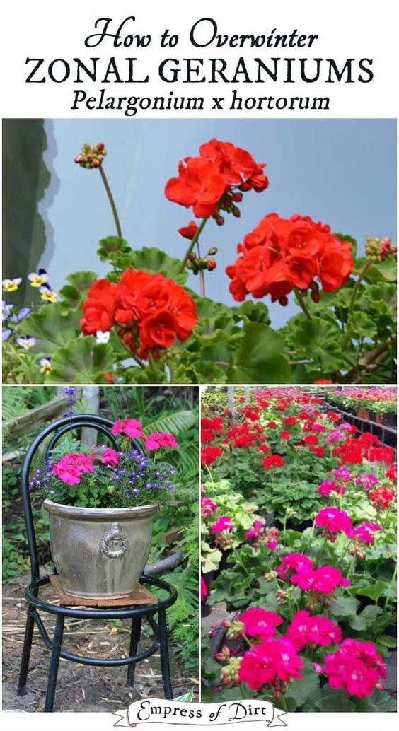 Save Your Zonal Geraniums With These Winter Storage Tips So You Can Have  Fresh Blooms In The Spring.