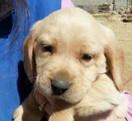 Adopt Blanca On Dogs Golden Retriever Second Chance Animal