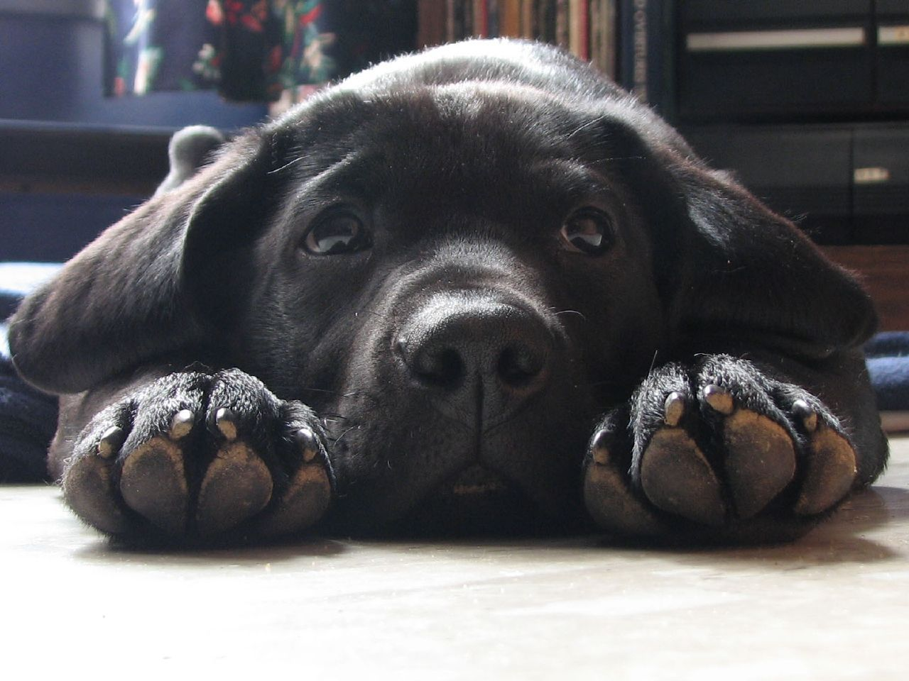 Lab Puppies Are The Sweetest And Cuddle Time With Them Brightens Any Day I Still Love Black Labrador Puppy Black Labrador Retriever Labrador Retriever Puppies