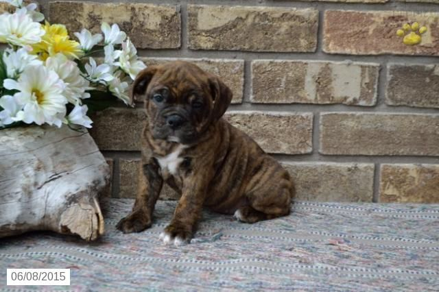 Shadow English Bulldog Puggle Puppy For Sale In Dundee Oh Puggle Puppies Puggle Puggle Puppies For Sale
